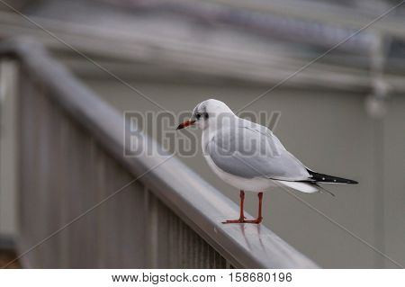 A lonely Seagull sits on a railing