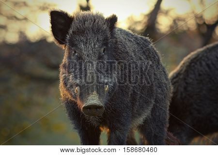 closeup of wild boar in sunset light ( Sus scrofa )