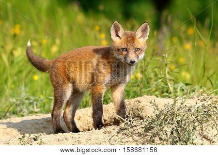 curious european red fox cub ( Vulpes )