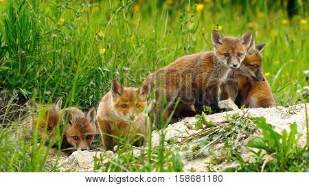 cute wild red fox cubs being curious about the photographer ( Vulpes )