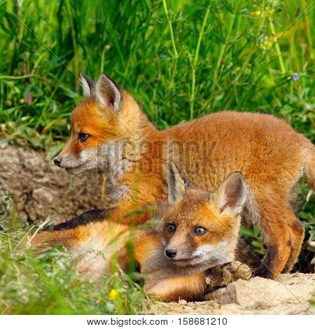 european wild fox youngster ( Vulpes vulpes )