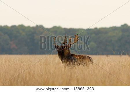 fallow deer bucks walking together after the fight in rut season ( Dama )