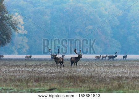 fallow deer stags at dawn in mating season ( Dama )