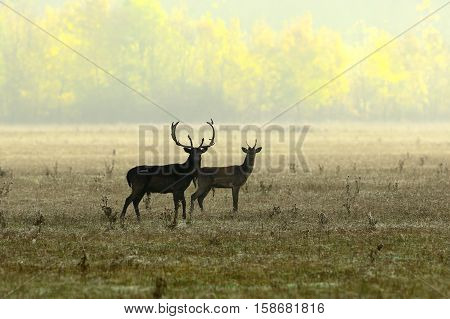 fallow deers in morning light ( Dama dama )