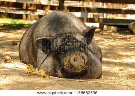 huge lazy pig at the farm sleeping on ground