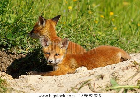 lazy european fox cub laying near the den ( Vulpes ) image of wild animal