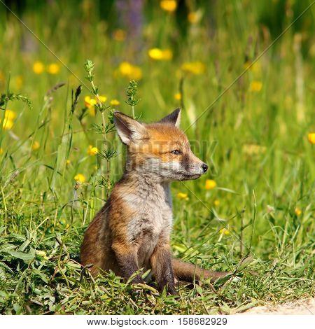 little red fox cub standing in green grass ( Vulpes vulpes )