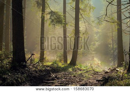 misty spruce forest and rural road image taken at dawn