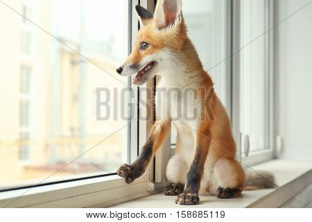 Little fox cub sitting on windowsill