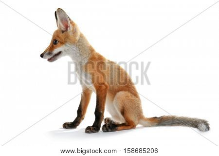 Little fox cub sitting isolated on white