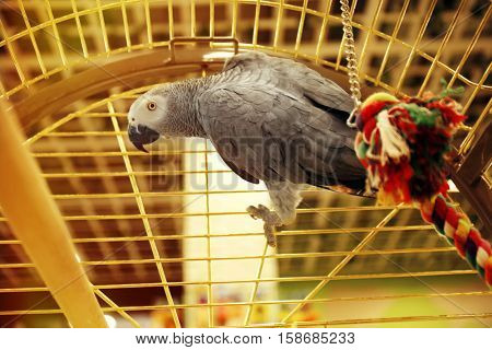 African gray parrot in cage, close up view