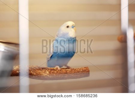 Beautiful blue parakeet sitting on perch in cage, close up view
