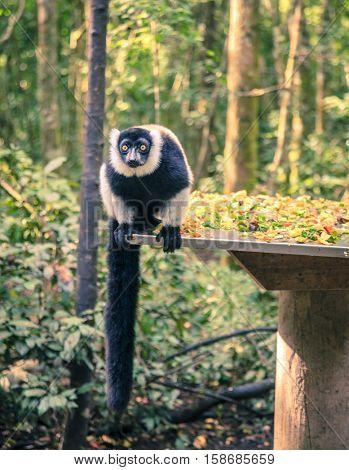 Ruffled Lemur at primate rescue center near Plettenberg Bay, South Africa