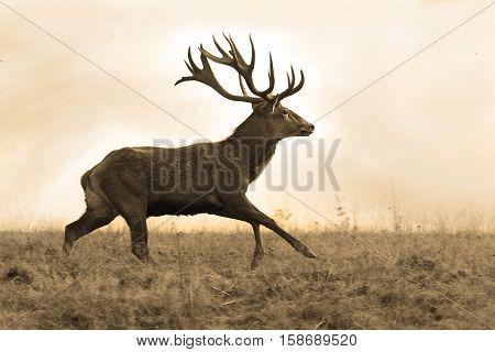sepia image of running red deer stag ( Cervus elaphus )
