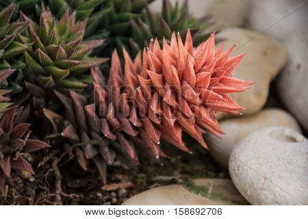 'Chamaedorea Oblongata' pink beautiful plant Botanical Gardens
