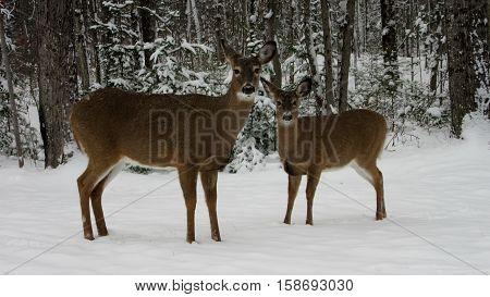 Mother deer with her baby deer looking for food