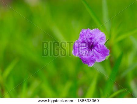 Purple flower  blooming in garden with green background,ruellias, wild petunias.