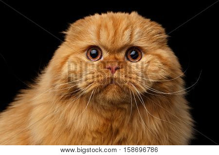 Close-up portrait of Furry red scottish fold highland breed Cat surprise stare in camera on isolated black background