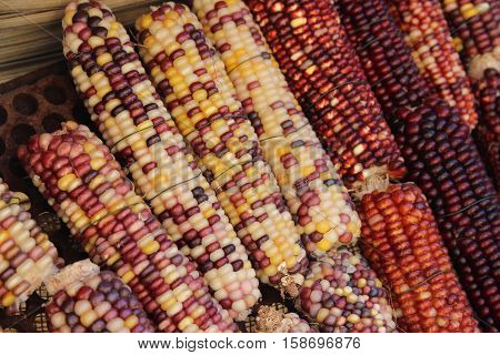 Organic background of colorful Indian corn for Thanksgiving or autumn.