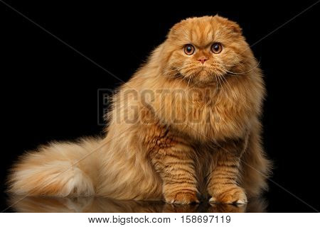 Furry red scottish fold highland breed Cat sitting on isolated black background, fat ginger cat