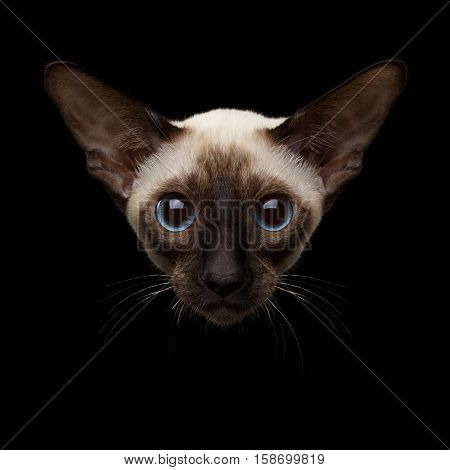 Close-up portrait of Oriental Shorthair Kitty with huge blue eyes looking at camera, siamese fur, isolated black background, Front view on head