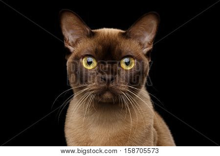 Close-up portrait of Brown Burmese Cat with Chocolate fur color and yellow eyes, Curious Looking in Camera, on isolated black background