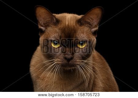 Close-up portrait of Grumpy Brown Burmese Cat with Chocolate fur color and yellow eyes, Angry Looking in Camera, on isolated black background