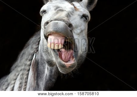 Funny animal is a white horse laughing his funny face off.