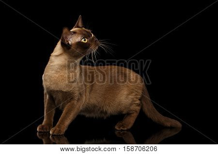 Adorable Burmese Cat with Chocolate fur color, stretched head on isolated black background with reflection