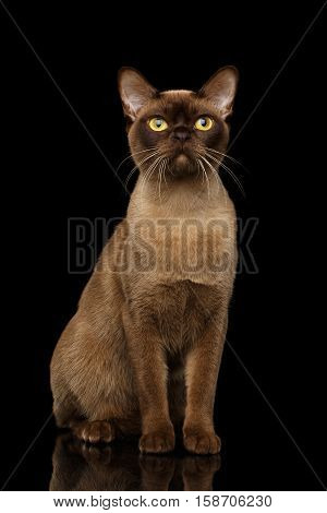 Adorable Burmese Cat with Chocolate fur color, Sits on isolated black background with reflection