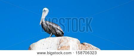 Male Pelican perched on La Anegada Rock at Los Arcos / Lands End at Cabo San Lucas Baja Mexico BCS