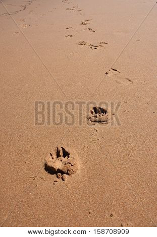 Dog footprints in the sand. Dog footprints on the beach.