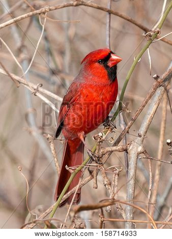red cardinal perched on a tree branch