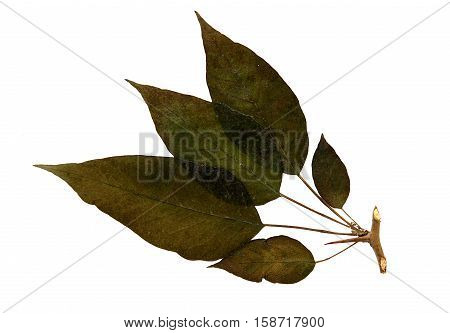 Pressed and dried leaf of Lemon (Citrus limon) on white background for use in scrapbooking floristry (oshibana) or herbarium.