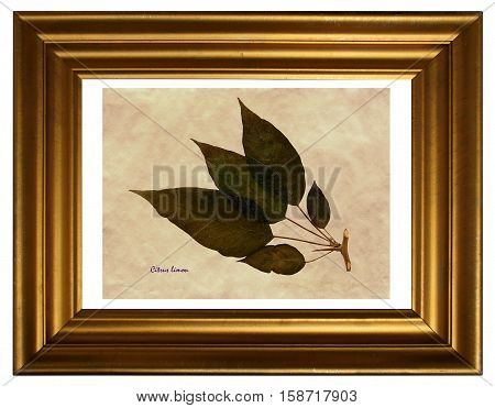 Herbarium from pressed and dried leaf of Lemon with Latin subscript (Citrus limon) in the frame on white background.