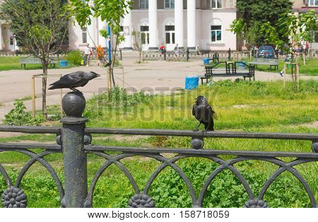 Family of two jackdaws using bad human habit - abuses each others sitting a cast-iron fence in Ukrainian city Poltava