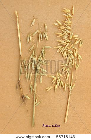 Herbarium from pressed and dried plant of The oat on antique brown craft paper with Latin subscript Avena sativa.