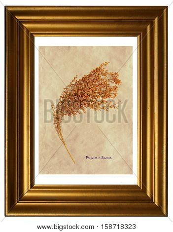 Herbarium from pressed and dried plant of proso millet (Panicum miliaceum) in the frame.