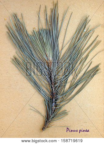 Herbarium from pressed and dried leaf of Stone pine on antique brown craft paper with Latin subscript Pinus pinea.