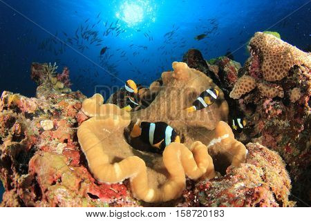 Clarke's Anemonefish in Sea Anemone on underwater coral reef
