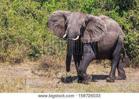 Elephant - loner. Watering large animals in the Okavango Delta. Fascinating journey to Africa. Chobe National Park in Botswana