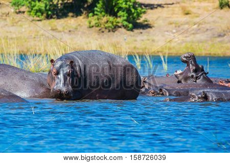 Huge herd of hippos resting in the river. The concept of exotic and extreme tourism in Okavango Delta, Chobe National Park, Botswana