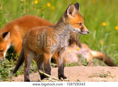 young european red fox near the burrow ( Vulpes vulpes )
