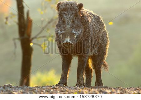 young wild boar male looking at the camera ( Sus scrofa )