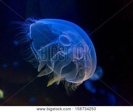 Moon jellyfish  in an aquarium