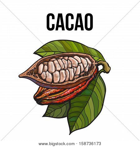 Hand drawn ripe whole and cut cacao fruits hanging on a branch, sketch style vector illustration isolated on white background. Colorful illustration of half and whole cacao fruit with leaves