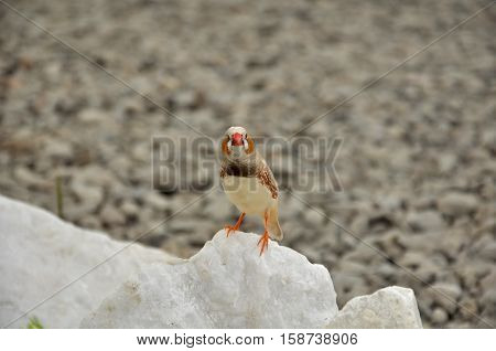 zebra finch (Taeniopygia guttata) are seed-eating birds