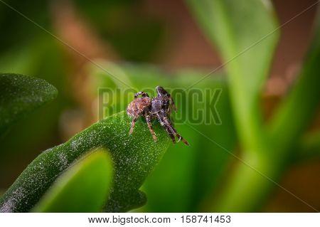 A Brown Ground Crab Spider