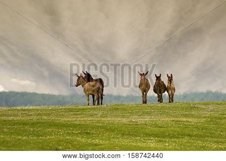 Herd of wild donkeys on the floral meadow