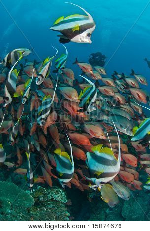 Shoaling coachmen and humpback snappers around a reef in Sodwana poster